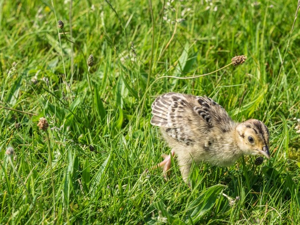 pheasant-2105483_960_720